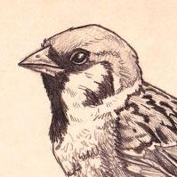 sparrow-th